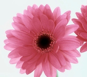 Three-Pink-Daisies-Facebook-Cover
